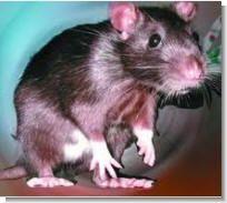 Домик для крысы своими руками
